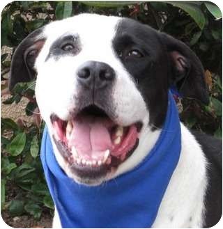 Pit Bull Terrier/Labrador Retriever Mix Dog for adoption in San Diego, California - Pirate