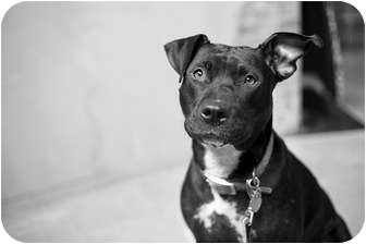 American Pit Bull Terrier Mix Dog for adoption in Portland, Oregon - Charlotte