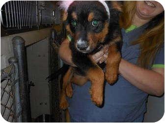 Collie Mix Puppy for adoption in Lebanon, Maine - Rayden-URGENT in GA