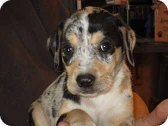 Catahoula Leopard Dog/Rhodesian Ridgeback Mix Puppy for adoption in Fairfield, Texas - Houston