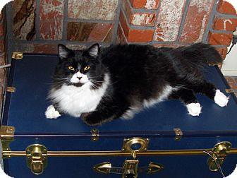 Domestic Mediumhair Cat for adoption in Laguna Woods, California - Angel