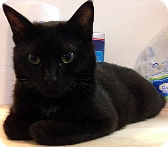 Domestic Shorthair Cat for adoption in Alexandria, Virginia - Franklin
