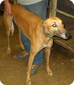 Greyhound Mix Dog for adoption in Knoxville, Tennessee - Par Freddy