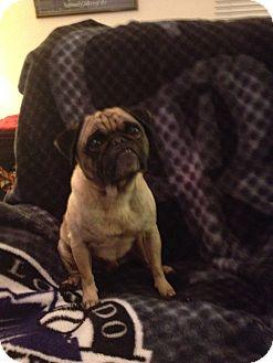 Pug Mix Dog for adoption in Salt Lake City, Utah - CHRIS