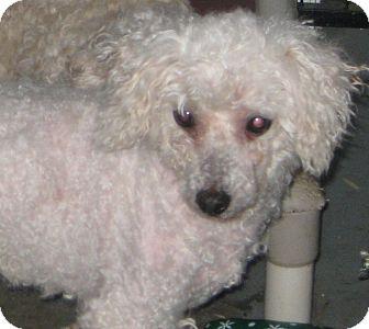 Bichon Frise Dog for adoption in Prole, Iowa - Chayce
