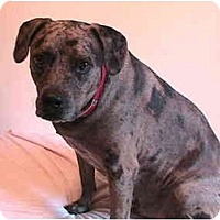 Adopt A Pet :: Louie - Forest Hills, NY
