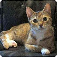 Adopt A Pet :: Blondie (Cute Torbie!) - Portland, OR