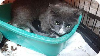 Domestic Shorthair Cat for adoption in Darlington, South Carolina - Sarfina