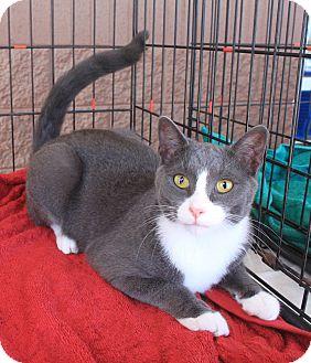 Domestic Shorthair Cat for adoption in Smyrna, Georgia - Jay
