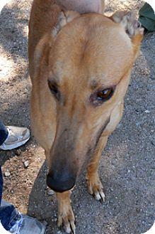 Greyhound Dog for adoption in Tucson, Arizona - Blake Shelton