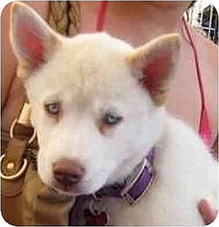 Siberian Husky Puppy for adoption in Downey, California - Channel