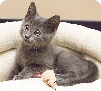 Russian Blue Kitten for adoption in Chicago, Illinois - Julie Newmar