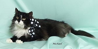 Domestic Mediumhair Cat for adoption in Kerrville, Texas - Michael