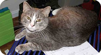 Domestic Shorthair Cat for adoption in Gaithersburg, Maryland - Lily
