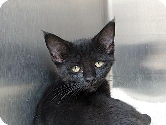 Domestic Shorthair Kitten for adoption in Elyria, Ohio - Danielle