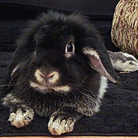 Lop-Eared Mix for adoption in Miami, Florida - Penelope