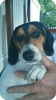 Beagle Mix Puppy for adoption in Pikeville, Maryland - Scarlett