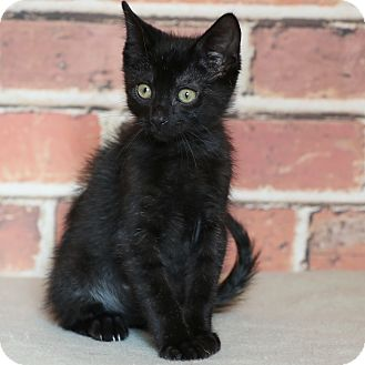 Domestic Shorthair Kitten for adoption in Columbia, Illinois - Clyde
