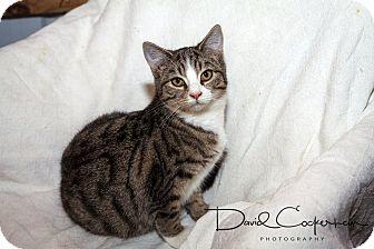 Domestic Shorthair Kitten for adoption in Monterey, Virginia - Haden $35 special