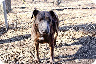 Boxer/Greyhound Mix Dog for adoption in Pittsburg, Kansas - Shasta