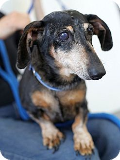 Dachshund Dog for adoption in Berkeley, California - Nicki