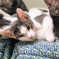 Adopt A Pet :: Cuddles - Lancaster, CA
