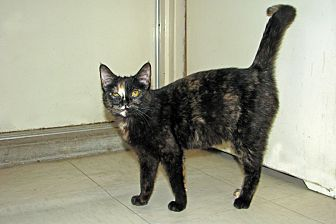 Domestic Shorthair Cat for adoption in Ruidoso, New Mexico - Bianca