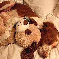 Adopt A Pet :: CO/Remi - Seattle, WA