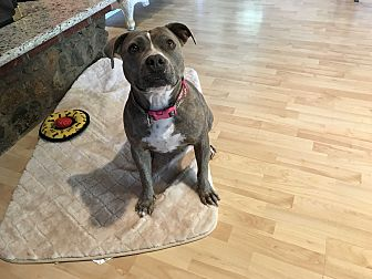 American Staffordshire Terrier/Shepherd (Unknown Type) Mix Dog for adoption in West Hills, California - Madeline
