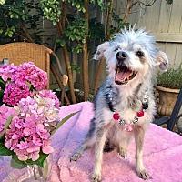 Adopt A Pet :: Lady - Potomac, MD