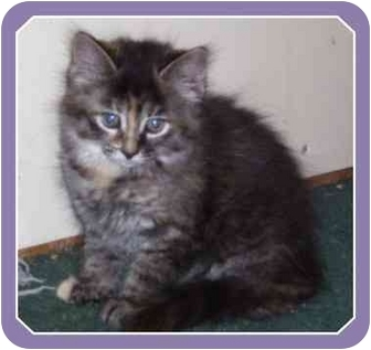 Domestic Mediumhair Kitten for adoption in Sterling Heights, Michigan - Holland - ADOPTED!