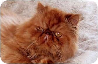 Persian Cat for adoption in Owatonna, Minnesota - Winston