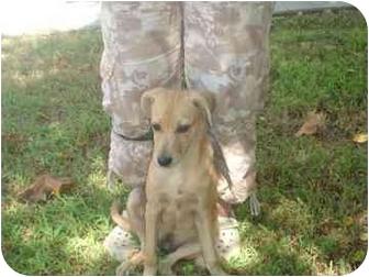 Golden Retriever/Feist Mix Puppy for adoption in Old Bridge, New Jersey - Inca