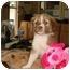 Photo 3 - Australian Shepherd/Collie Mix Puppy for adoption in Baton Rouge, Louisiana - Brooke