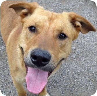 Shepherd (Unknown Type)/Australian Cattle Dog Mix Puppy for adoption in Hayden, Idaho - Paco