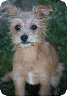 Terrier (Unknown Type, Small)/Poodle (Miniature) Mix Puppy for adoption in Yuba City, California - KoKo