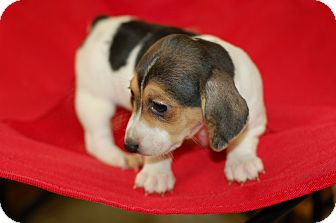 Chihuahua/Beagle Mix Puppy for adoption in Armada, Michigan - Bethany
