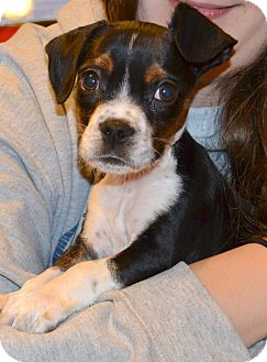Boston Terrier/Terrier (Unknown Type, Small) Mix Puppy for adoption in Westport, Connecticut - *Cricket - PENDING