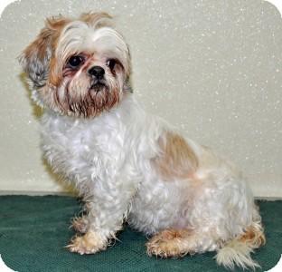 Shih Tzu Dog for adoption in Port Washington, New York - Meme