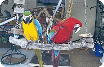 Macaw for adoption in Punta Gorda, Florida - Peppy & Tinker