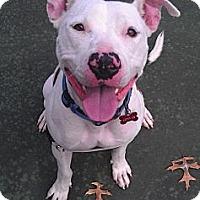 Adopt A Pet :: Sam - Clarksburg, MD