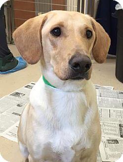 Labrador Retriever Mix Dog for adoption in Gloucester, Massachusetts - Sonny