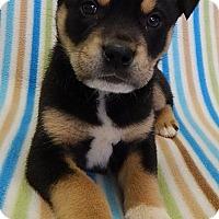 Adopt A Pet :: Pez (LR) - Brattleboro, VT