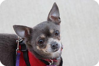 Chihuahua Mix Dog for adoption in Fountain Valley, California - Plumeria