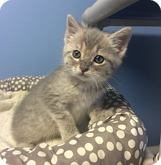 Domestic Shorthair Kitten for adoption in Germantown, Tennessee - Nala