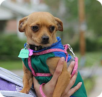 Chihuahua Mix Dog for adoption in Manhattan, Kansas - Marley