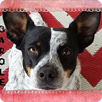 Adopt A Pet :: CAROLE - Higley, AZ