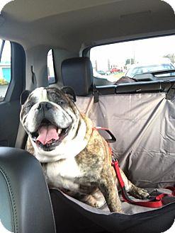 English Bulldog Dog for adoption in Columbus, Ohio - Gunner
