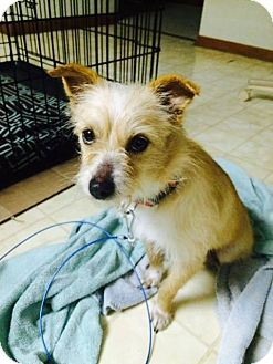 Cairn Terrier Mix Dog for adoption in Lima, Pennsylvania - Nellie