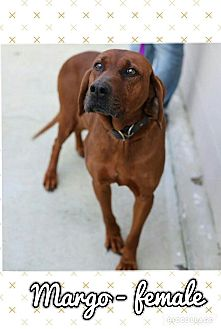 Redbone Coonhound Mix Dog for adoption in Harrisonburg, Virginia - Margo (Pom-dc)